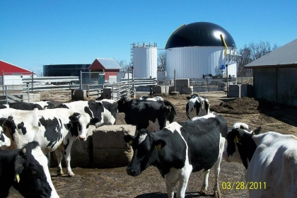 Cows by the digester