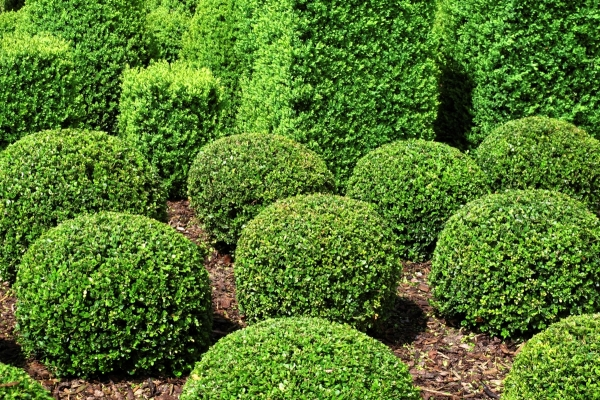 finely pruned shrubberies